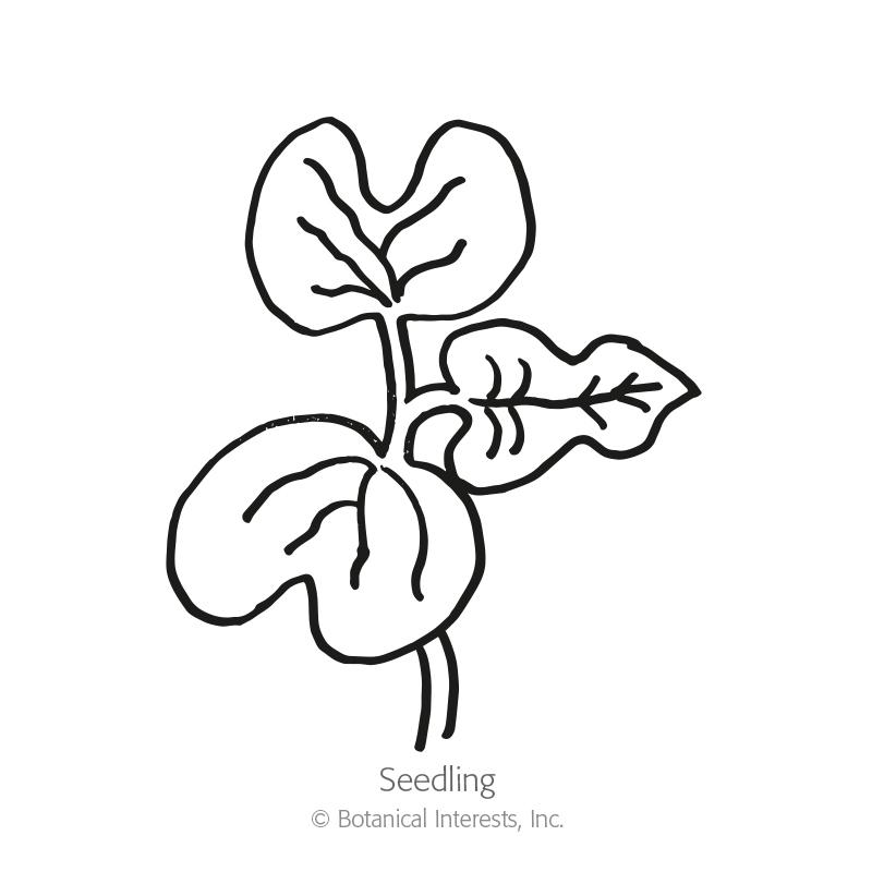 Mina Lobata Spanish Flag 20 Seeds